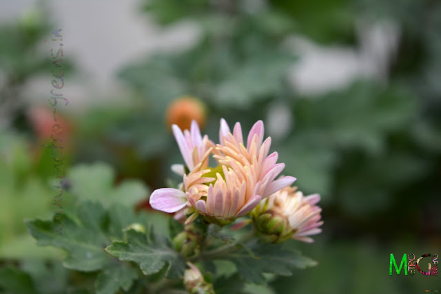 Metro Greens: White Chrysanthemum Blooms