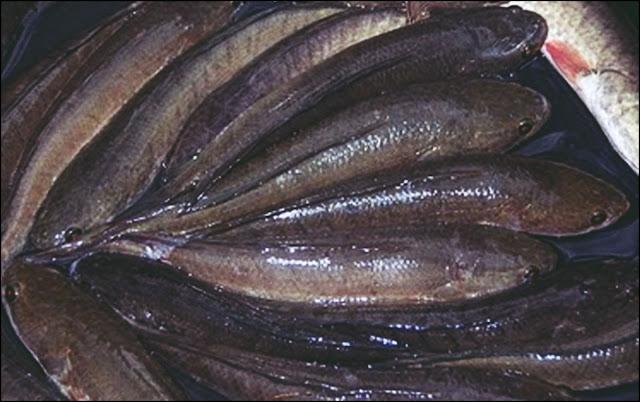 Harga Jual Supplier Ikan Gabus di Jogja