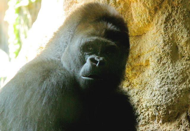 ハダカデバネズミや歩く植物??上野動物園で見逃せないなおすすめ動物8つ【n】 イケメンゴリラ