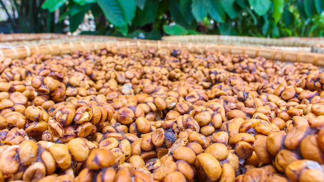 pawon luwak coffee magelang candi pawon