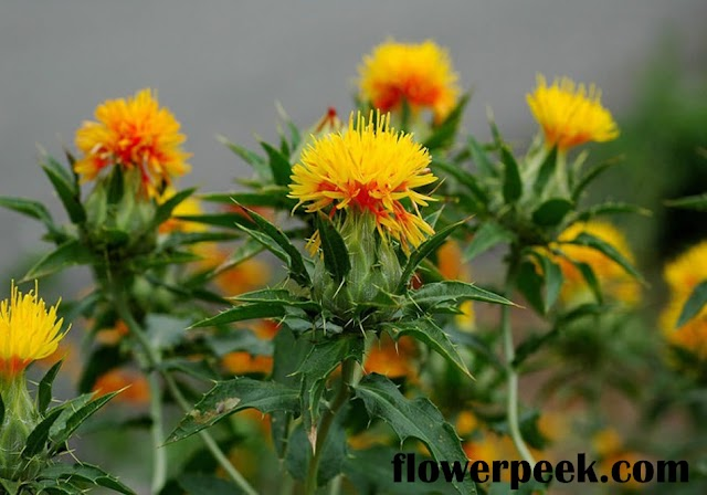 Tips on how to grow and care for Safflower plants