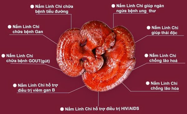 Nấm linh chi đỏ có tác dụng tốt nhất cho sức khỏe