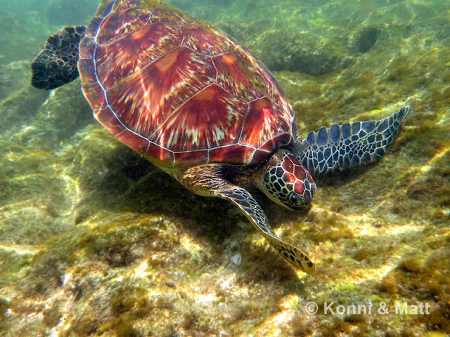 green turtle, apo island, shallow water, Visayas, Philippines