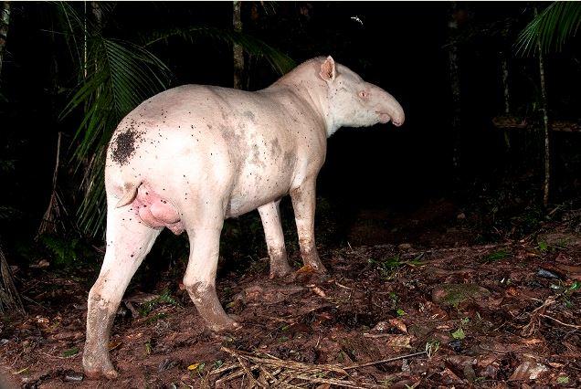Casal de antas formado com um albino é flagrado no Legado das Águas