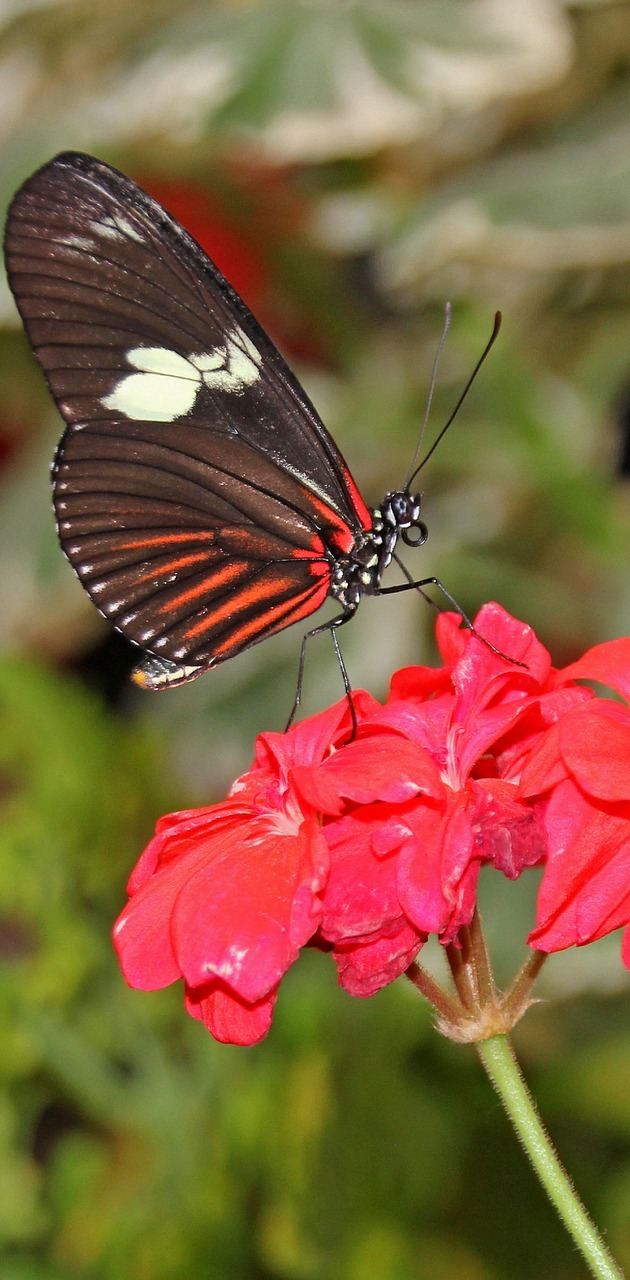 A heliconius butterfly on a red flower.
