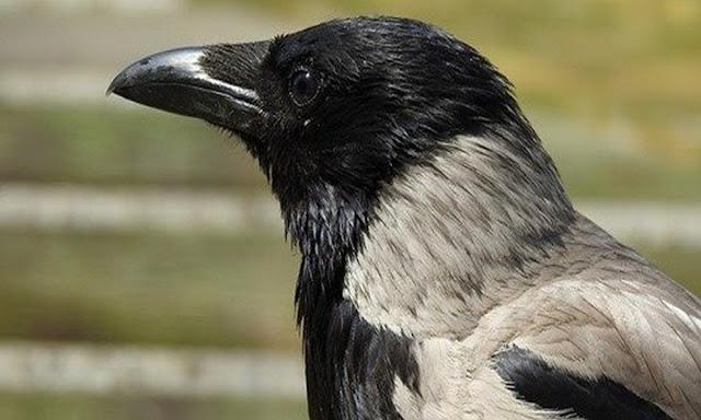 Я не позволила разрушить воронье гнездо, за это птица не бросила моего ребёнка в беде