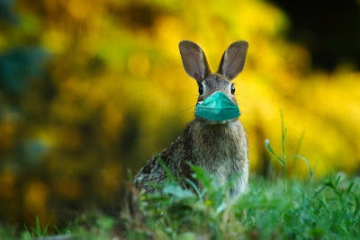 a hare wearing a green facemask in a field