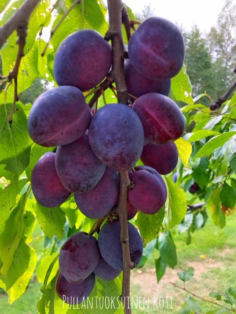 #luumu #luumupuu #luumupuusinikka #sadonkorjuu #harvest #harvesttime #plumharvest #plums