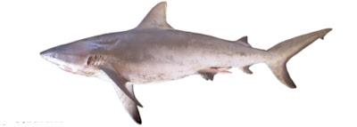 Jenis - Jenis Ikan Hiu Yang Ada Di Indonesia [part 1]