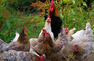 Idea Memulakan Penternakan Ayam Kampung