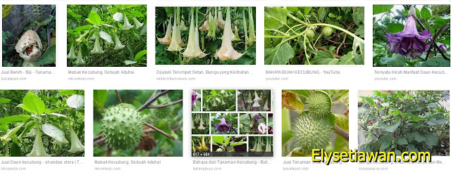 Mengenal tanaman kecubung
