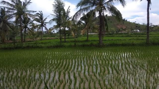 Petani Desa Mertak Kec. Pujut Menjerit Karena Pupuk Bersubsidi Sangat Langka