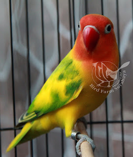 Ciri lovebird green series yang asli