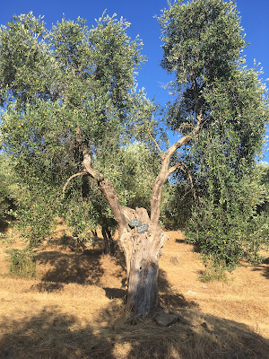 Olive tree with sign with names of its adoptive parents