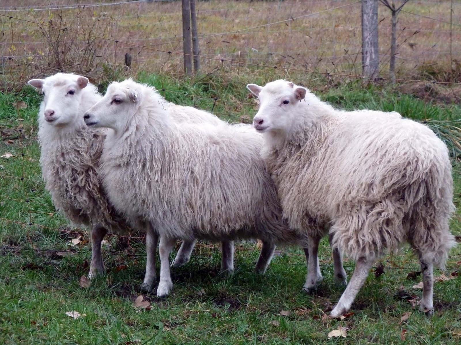 Skudden Schafe