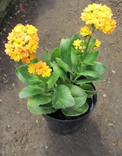 bibit-bunga-kalanchoe-kuning.jpg