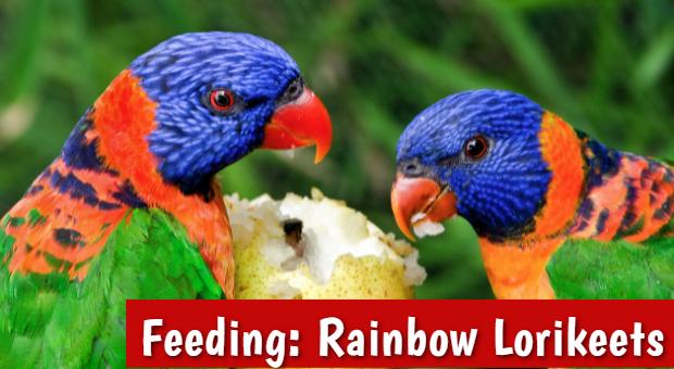 how to feed Rainbow-Lorikeets