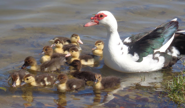 Muscovy duck mother and chicks swimming in a lake