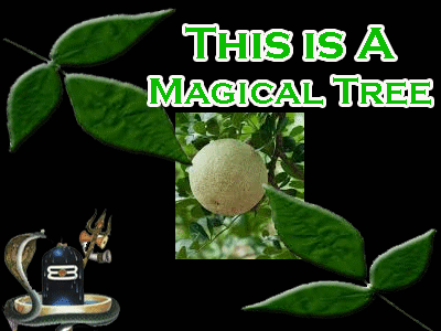 about magical bael tree of India, vine tree benefits as per astrology.