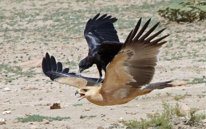 Gagak Melawan Burung Lebih Besar