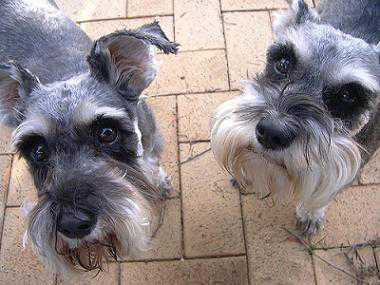 How to Care Miniature Schnauzer Dog