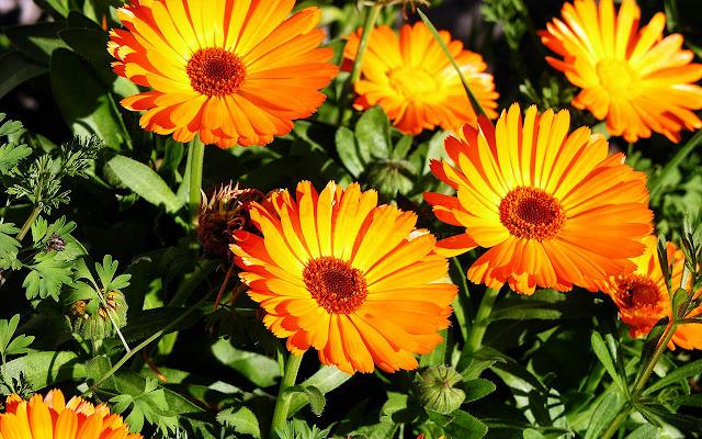 Bunga Calendula