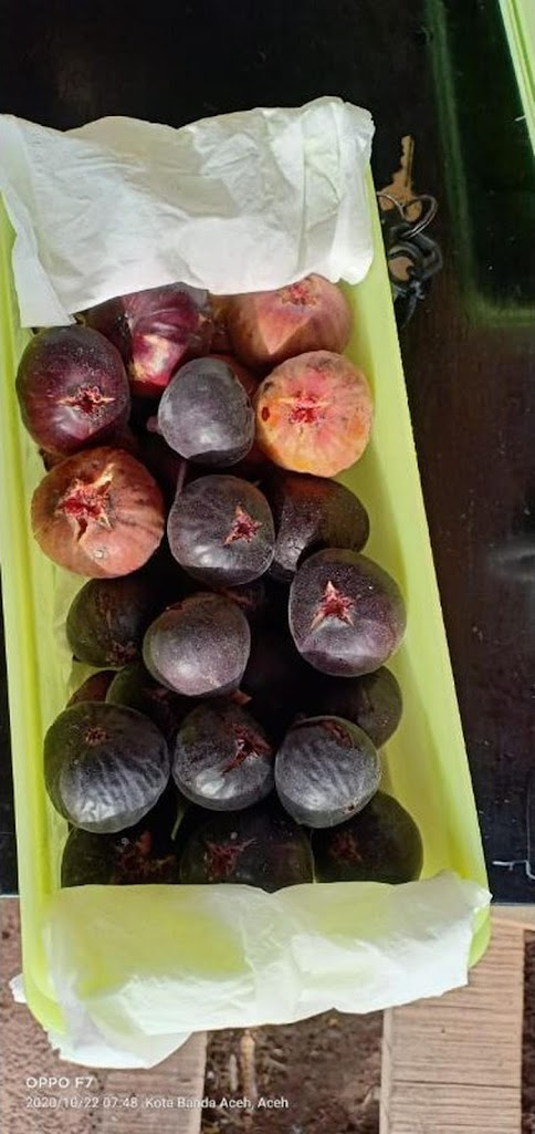 bibit buah tin ara fresh cangkok jenis iraq iraki buah hitam dan lebat genjah Sumatra Utara