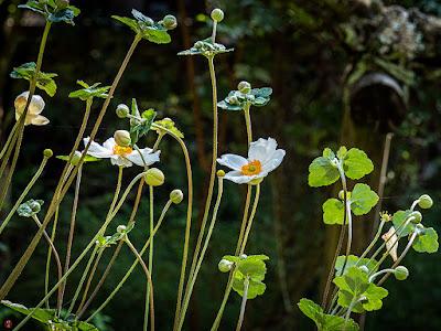Shumei-giku (Anemone hupehensis var. japonica): Engaku-ji