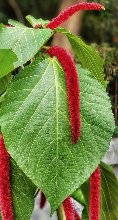 Tanaman Hias Bunga Amaranthus