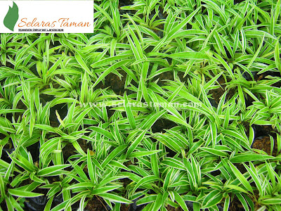 23 jenis tanaman hias yang sering digunakan untuk taman