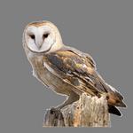 owl in spanish