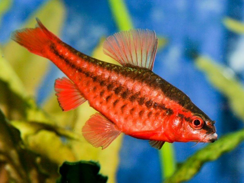 70. Jenis Ikan Hias Aquascape Cherry Barb