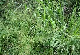 Welcome To Fresh Dailys Blog Common Weeds Grasses With Their Botanical Names And Characteristics