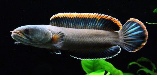 Channa Gachua - 50 Jenis Ikan Channa Beserta Harganya