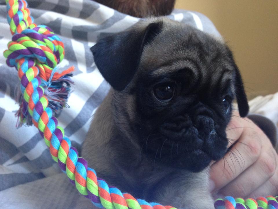 Baby Archie pug