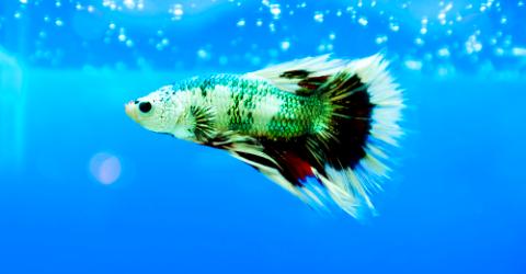 87+ Gambar Ikan Cupang Png Gratis