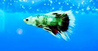 Ternak ikan cupang aduan di kolam