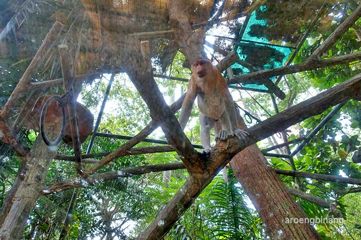 bekantan kebun binatang ragunan jakarta