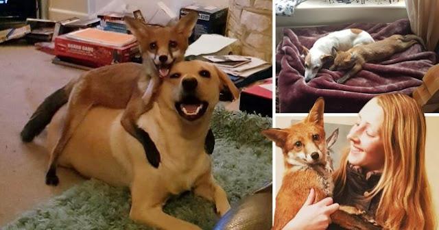 Чудесная история спасённой лисы, которую воспитали собаки