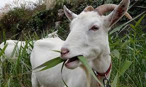 Rumput Untuk Kambing Jawa Yang Disarankan Untuk Peternak Kambing Agar Kambing Jawa Cepat Besar