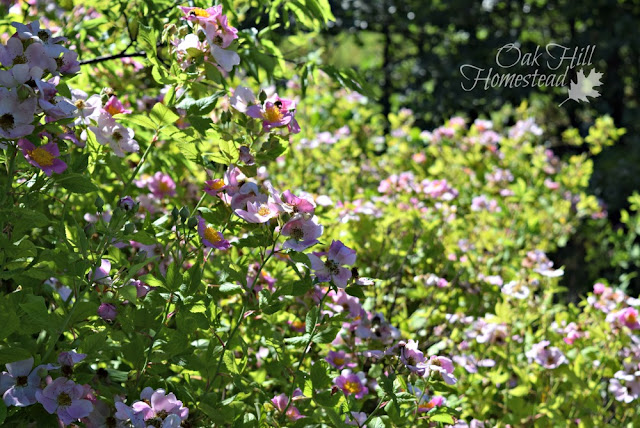 Wild rose thicket