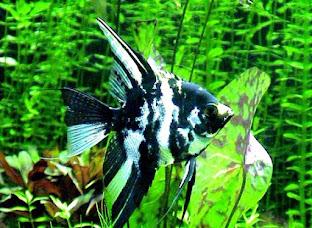 Jenis Ikan Manfish Marble Veil Angelfish