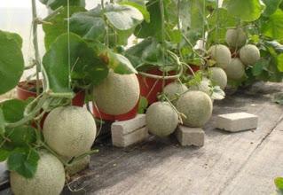 Melon hidroponik sistem fertigasi