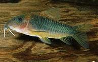 Jenis Ikan Corydoras melanotaenia