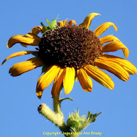 pretty yellow sunflower blossom with green grasshopper picture