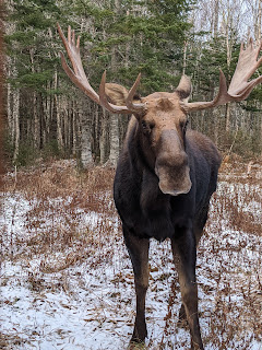 Bruce The Moose, Two Rivers Wildlife Park