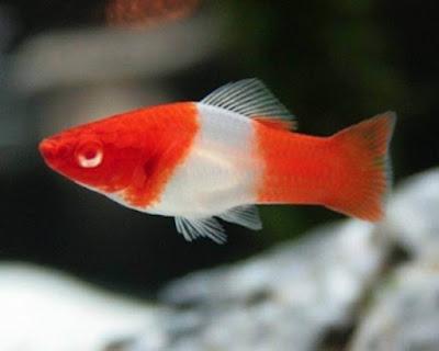Ikan Platy Santa Claus