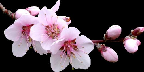 Картинки по запросу весенние цветы png
