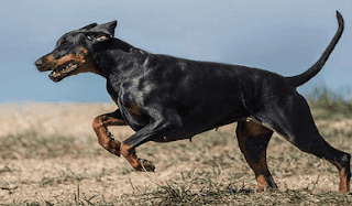 كلب دوبرمان