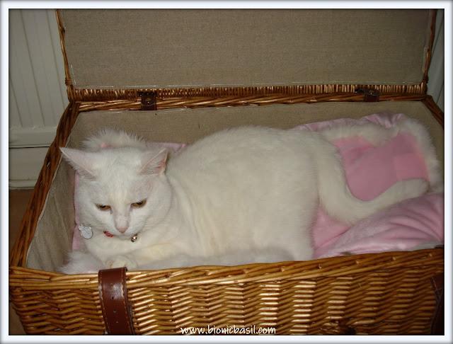 beautiful white cat in a basket, cat in a basket, gorgeous cat